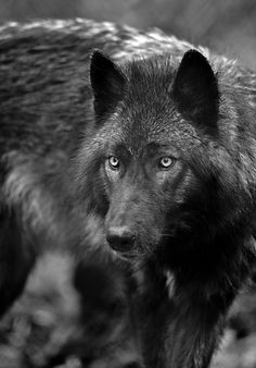 The Black Wolf is a melanistic colour variant of the grey wolf (Canis lupus). Genetic research has shown that wolves with black pelts owe their distinctive coloration to a mutation which occurred in domestic dogs, and was carried to wolves through wolf-d Beautiful Creatures, Animals Beautiful, Cute Animals, Wild Animals, Wolf Spirit, Spirit Animal, Tier Wolf, Photo Animaliere, Zoom Photo