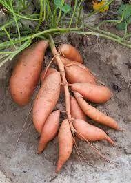 How to Grow the Best Sweet Potatoes3 #OrganicGardening #gardeningideas