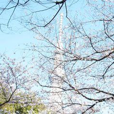 Sakura & Skytree - @nutnosuke- #webstagram