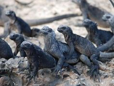 Iguanas, Las Islas Galapagos. No personal space bubble respect