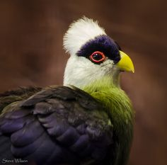 Portrait of a White-crested Turaco