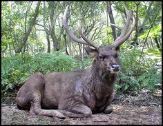 NZ Sambar Deer