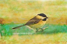 Chickadee photo bird photo digital download by NaturePhotosMontana, $9.99 Limited commercial and personal rights.
