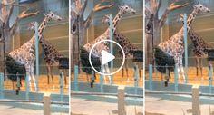 Girafa Encontra Método Alternativo Para Se Manter Entretida
