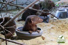 In den letzten Monaten und Jahren haben auch die Anfragen für die Aufnahme von exotischen Kleinsäugern zugenommen. Wir haben deshalb einen Säugetiertrakt eingerichtet und beherbergen nun u.a. ein Rudel Zwergmangusten.