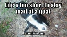 Mini Goats, Cute Goats, Animal Quotes, Animal Memes, Funny Goat Memes, Farm Animals, Cute Animals, Farm Humor, Show Goats