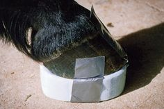 To take strain off the laminae, remove the horse's shoes, which put most of his weight on the hoof wall. Support the sole by taping on foam pads or commercial supports.   © Practical Horseman