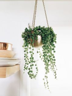 Not to Kill These Trending Indoor Plants The elegant String of Pearls plant is part of the succulent fam, so be weary of overwatering it.The elegant String of Pearls plant is part of the succulent fam, so be weary of overwatering it. Succulents Garden, Planting Flowers, Planter Garden, Plantas Indoor, House Plants For Sale, Easy House Plants, Vine House Plants, House Plants Decor, Belle Plante