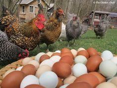 Hurricane Preparedness for Backyard Chickens.