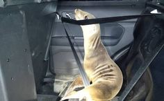 There are some decent law enforcement officials after all, thank goodness. Lovely story. Sea Lion Pup Hitches a Ride in Sheriff's Cruiser