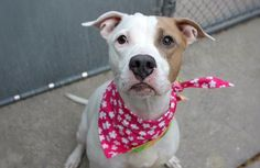 """LEXIE - A1095287 - - Manhattan  Please Share:TO BE DESTROYED 11/12/16  A volunteer writes: """"Lexie"""" is often short for """"Alexandra"""" but our girl is a Lexie for sure. You see Alexandras are regal and royal. Lexies are adorable and sweet. Alexandras are ethereal and elegant. Lexies are playful and silly. Alexandras wow by just entering a room. Lexies quietly and surely charm. Yes our Lexie is definitely a Lexie. And I wouldn't have it any other way"""