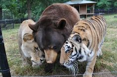 These three animals, victims of neglect and animal cruelty raised together as cubs, were taken in by Noah's Ark Animal Sanctuary in Locust Grove, Georgia. They were named Leo (lion), Baloo (bear), and Shere Kahn (tiger), collectively known as BLT. They were rehabilitated and given proper medical care, and are now happily inseparable.