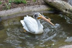 2017-07-07 For my birthday I went to the #NEWZoo in #GreenBay. This is an American white #pelican (Pelecanus erythrorhynchos) who lives with the eagle and the ducks in the aviary. #Wisconsin #bird #zoo #nature