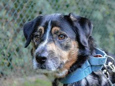 Meet SENECA, an adoptable Collie looking for a forever home. If you're looking for a new pet to adopt or want information on how to get involved with adoptable pets, Petfinder.com is a great resource.
