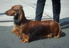 Long Haired Standard Dachshund