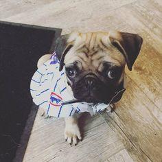 "⚾The world's cutest #Cubs fan, @kona.pug!⚾ ""Go Cubbies!!! ❤️"" ...  #pug #pugpower #pugsnotdrugs #puglife #puglove #mops #cuteness #puglover #dogs #dogsofinstagram #pugstagram #dogsofinstaworld #instapug #pugoftheday #hermoso #mopsliebe #pugs #carlino #baseball"