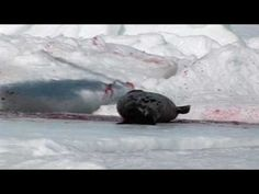 Stop the Canadian Seal Hunt!!!: https://www.youtube.com/watch?feature=player_embedded=KUyY7oeTXd0 @SeaShepherd #defendconserveprotect