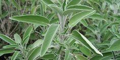 Salvia: proprietà, benefici per la salute, utilizzi e controindicazioni