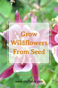 Biennial flowers are flowers that bloom every second season they have a 2 year biological cycle and the roots remain in the ground throughout. Pine Seeds, Herb Seeds, Garden Seeds, Kentucky Coffee Tree, Golden Chain Tree, Katsura Tree, Judas Tree, Kalmia Latifolia