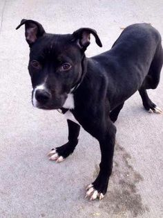 SAFE ! - 01/25/14  Brooklyn Center -P  CYRUS. My Animal ID # is A0989685.  I am a male black and white pit bull mix. ~BABY ALERT!!!!! @ 6 MTHS old. STRAY 1/16/14 He's just SIX MTHS OLD 34 lbs and he got an AVERAGE RATING on his  behavior exam- means he'd ft into most homes! Typical puppy, jumping up & trying to lick. He shows high energy, but it is directed toward getting closer to the Assessor. He wants nothing more than a loving family to grow up with.