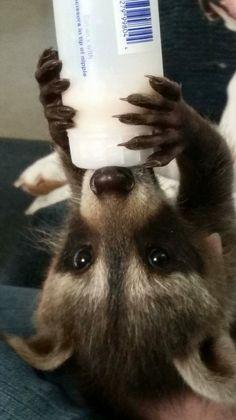 Baby raccoon meeko More