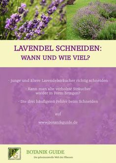 Wann und wie oft sollte man Lavendel schneiden? Und wie viel überhaupt? Das und mehr auf www.botanikguide.de