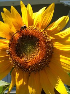 I spy a visitor! Giant Sunflower