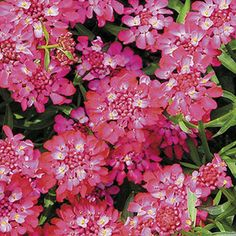 This new Candy Cane Series is a terrific assortment for the garden and come in a variety of colors: purple, lilac, white, or red. 'Candy Cane Red' is evergreen, compact and a fast grower. The Candy Cane Candytufts are perfect planted en masse, as borders or in containers. Beautiful aslo as a cutflower.