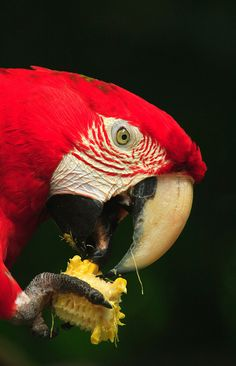 Red wing macaw