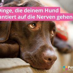 Auch wenn dein Hund dir oft zeigt, wie gern er dich hat - nicht alles, was du tust (oder auch nicht tust) gefällt deinem Vierbeiner. Hunde sprechen eine andere Sprache, als wir Menschen, deshalb sind manche unserer Handlungen für sie unverständlich... #hundabwechslung #hundanspannung #hundgenervt