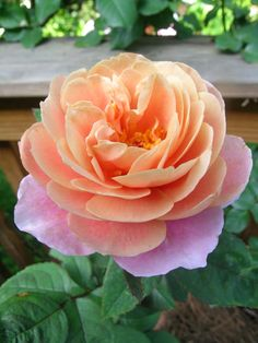 Distant Drums Rose – Dr. Griffith J. Buck | Vintage Belle Broken China Jewelry Blog