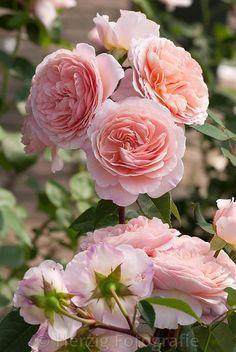 """Rose """"William Morris"""" - Englische Rose, David Austin 1998"""