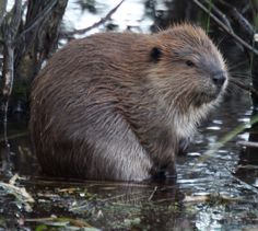 American Beaver (Castor canadensis). While I have never actually seen one, they are native to Connecticut and are vital to aquatic ecosystems. Do not feed or pet. And since this board is for educational purposes and is intended to be family friendly, no tasteless jokes in the comments please.