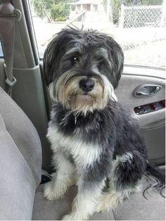 Lost Dog - Schnauzer Standard - Princeton, WV, United States 24740