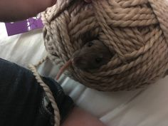 My pet rat has a weird obsession with yarn