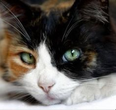 Calico Cats With Green Eyes Explore our guide to cats, kittens and their habitats. Learn about over a hundred different cat breeds and how to deal with troub Gato Calico, Calico Cats, I Love Cats, Crazy Cats, Gatos Ragdoll, Ragdoll Kittens, Chat Male, Russian Blue, Blue Cats