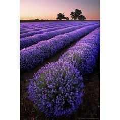 Explosion of Lavender ❤ liked on Polyvore featuring backgrounds, purple, pictures, photos and flowers