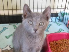 ADOPTED!!! Violet * Meet Violet, a Petfinder adoptable Russian Blue Cat in Battle Creek, MI | Petfinder.com