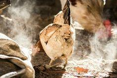 #chicken #rooster #gallina #polvo #fotografía #photography #farm #granja #myphotos
