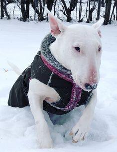 """Bull terrier """"Am I lovely in my new jacket?"""""""