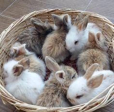 Basket of bunnies <3