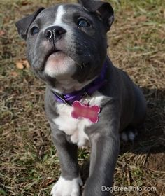 Raising a Puppy: The Second Week in her New Home—Mia the Blue-Nose American Bully Pit 8 weeks old