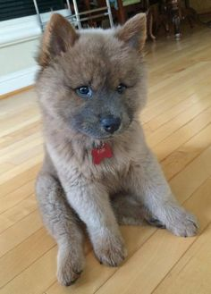 """Kuma the Chow Mix  .  .  .  Kuma is Japanese for """"bear"""" because he looks like a little bear cub. He's a chow chow and husky mix. Don't let the cute face and soft fur fool you, he loves running circles around his mama bear and chewing on her slippers."""