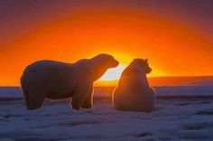 They're usually pictured against a bright white backdrop but these polar bears are bathed in vibrant reds, yellows and oranges as they watch a beautiful sunset. Taken at the Arctic National Wildlife Refuge in Kaktovik, Alaska. Bear Pictures, Animal Pictures, Animals Beautiful, Cute Animals, Arctic Animals, Predator Hunting, Mundo Animal, Tier Fotos, Beautiful Sunset