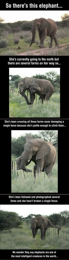 Elephant Crosses Fences, without damaging a single one. just another reason why I love elephants