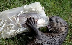 images of fish that otters eat | Animals eating Animals: Otters eating crabs and fish pictures