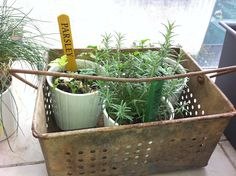 Old rusty dip tin used as a plant holder