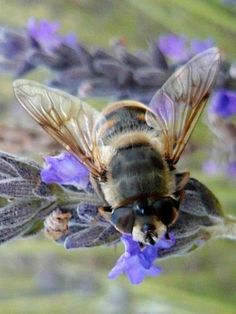 Bee enjoying lavender.