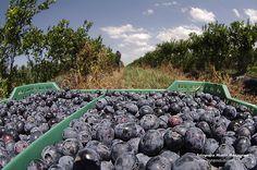 Arandanos en época de cosecha! Blueberry, Fruit, Food, Harvest, Blueberries, Meal, The Fruit, Eten, Meals