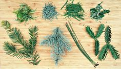 Medical conifer branches and leaves; learn which are safe and which are toxic.